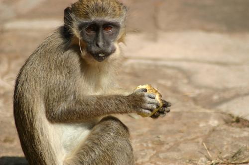 Monkey eating cookie