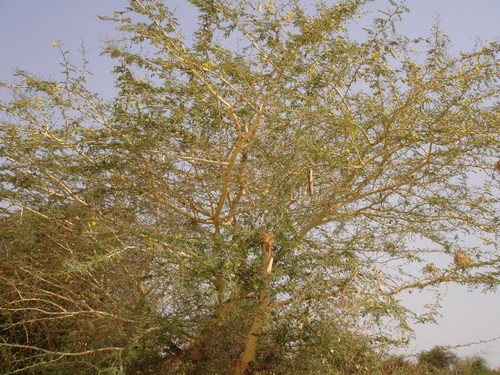 Yellow thorn tree